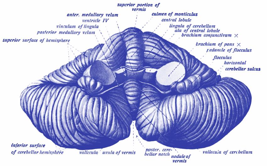 Embrace Autism | Autistic brain differences – Cerebellum | diagram CerebellumAnterior