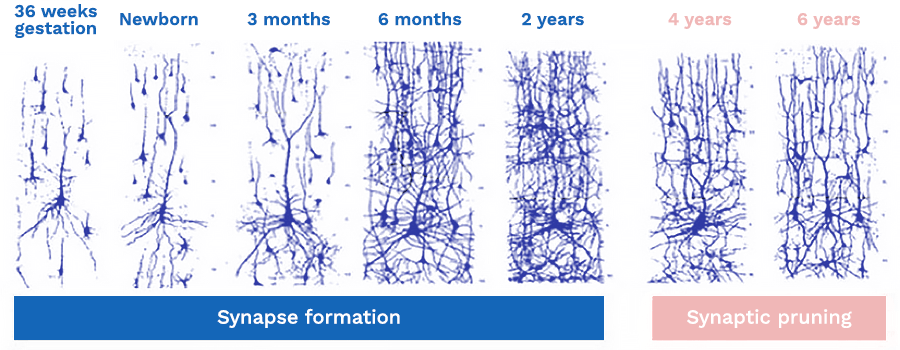 A diagram that shows synapse formation and synaptic pruning over a period of 6 years.