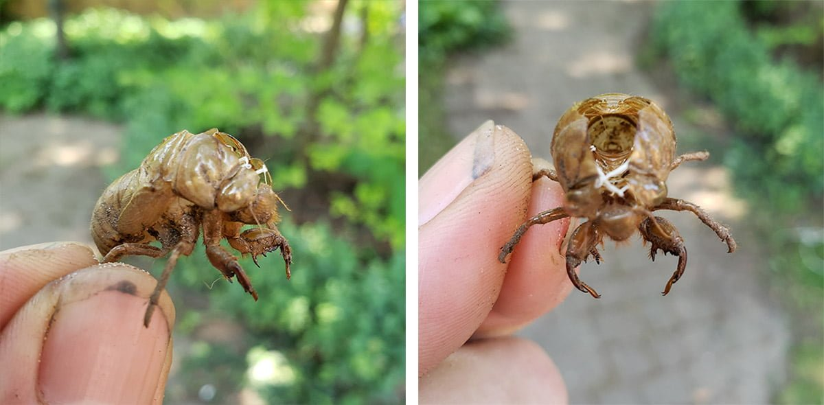 Two photos of an empty husk of what I thought to be from a beetle.