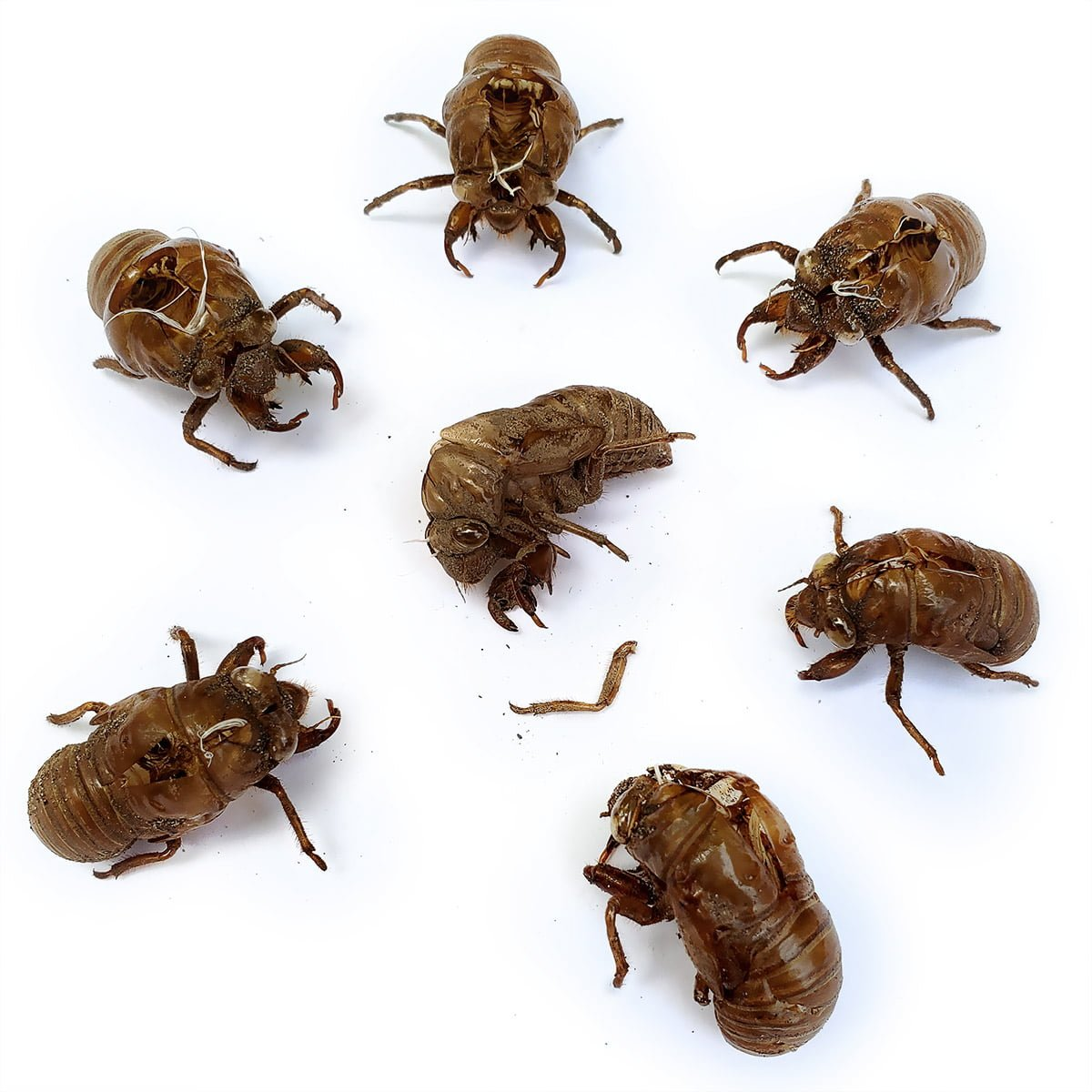 """A photo of six Cicada husks standing in a circle around a Cicada husk on the floor, with one of its fallen-off limbs lying next to its """"body""""."""
