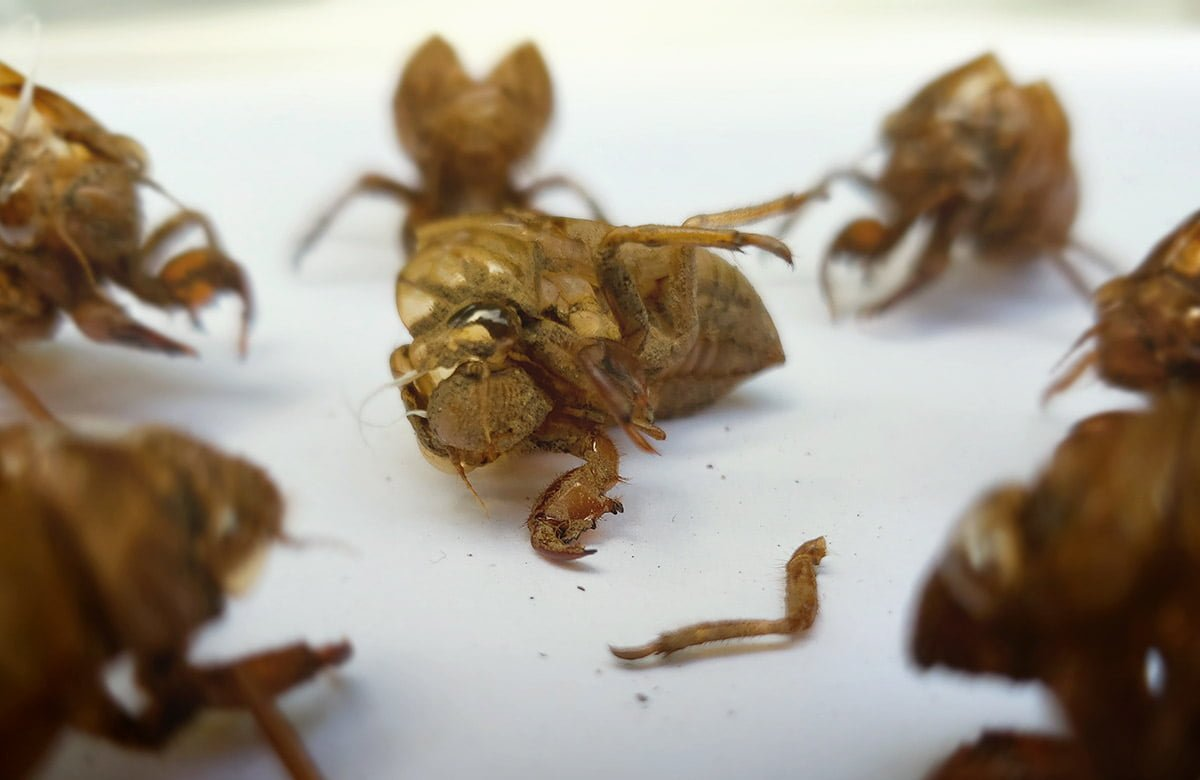 """A dramatic photograph of six Cicada husks standing in a circle around a Cicada husk on the floor, with one of its fallen-off limbs lying next to its """"body""""."""